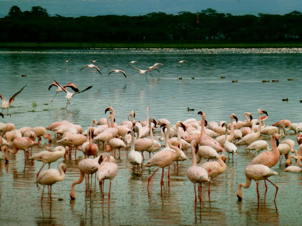 Flamingos on Lake Naivasha