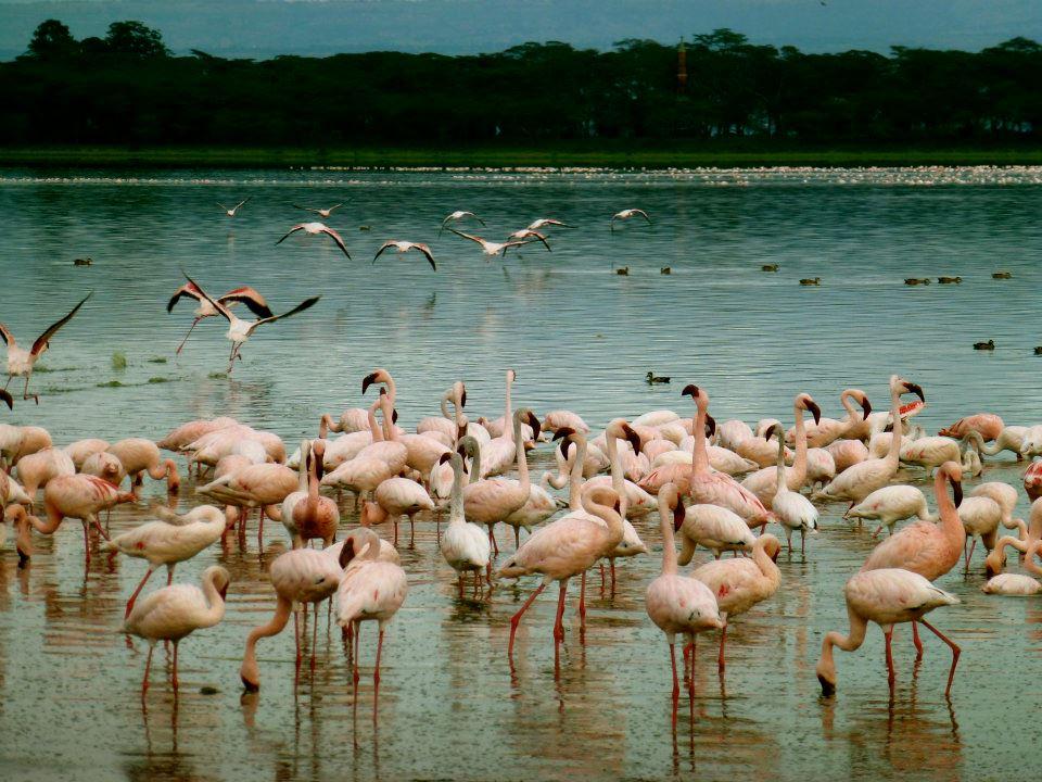 Flamingos on Lake Naivasha