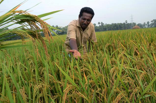 An Indian farmer cultivating a paddy using natural farming techniques